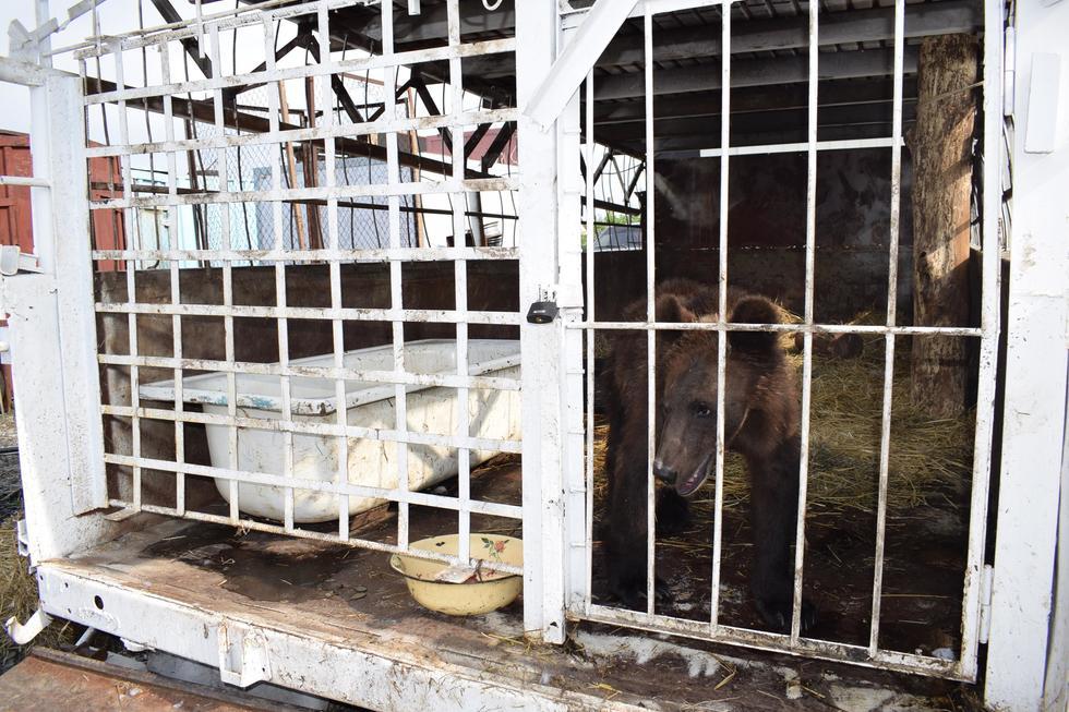 В «Единой России» рассказали о дальнейшей судьбе медведя из саратовского кафе