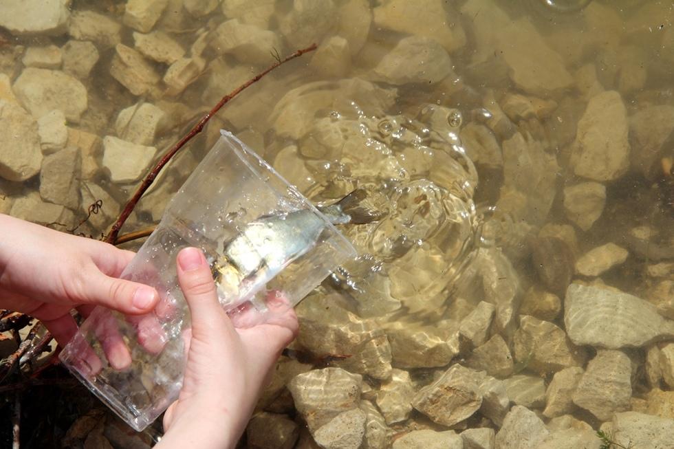 В Балаково в городские водоемы выпустили 80 тысяч мальков толстолобика