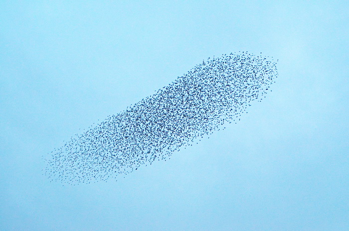 Птицы сбиваются в стаи ради информации