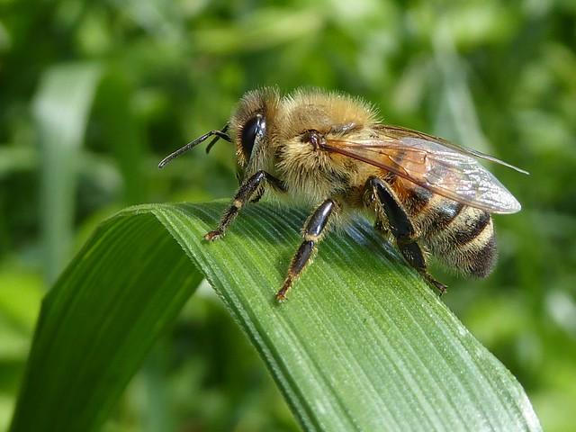 Пчёлы слепнут от любви