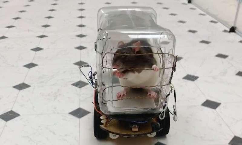 Автошкола для крыс