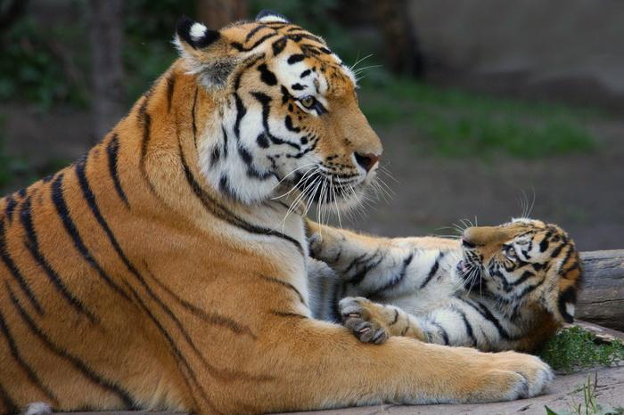 Как тигрицы делят время между «работой» и «домом»