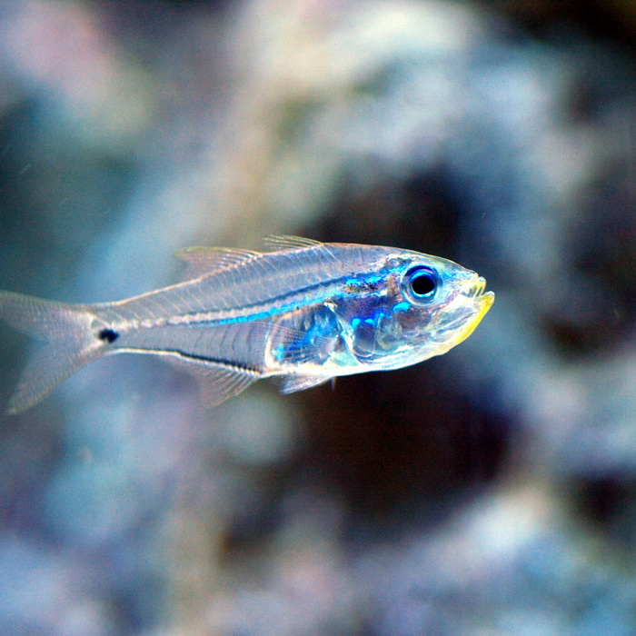Рыбы получают свет из еды