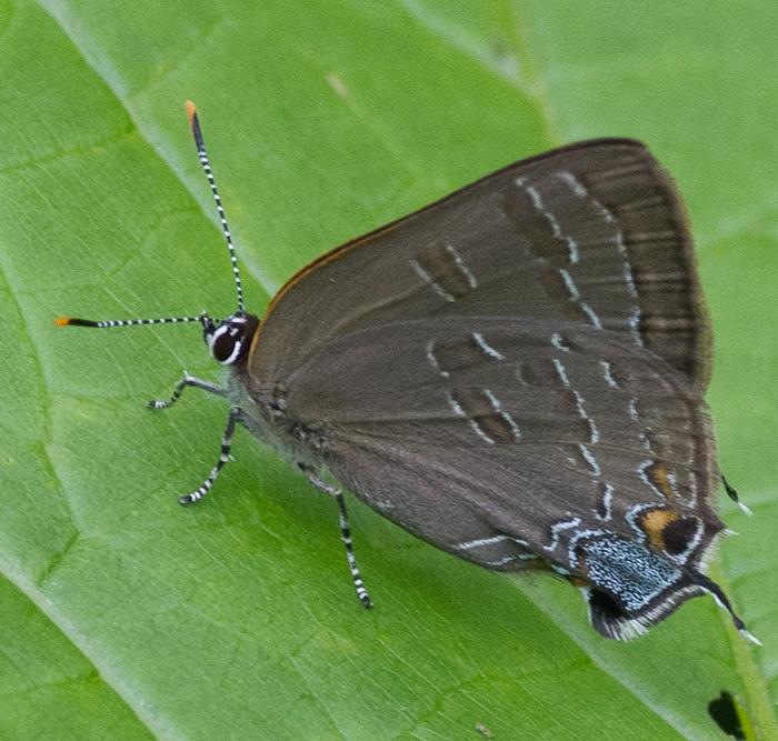 Как бабочки охлаждают крылья