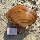 Гигантские китайские моллюски пришли в российские реки