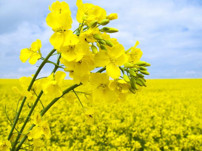 Анализ генов рапса поможет улучшить рапсовое масло