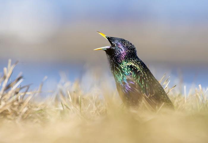 Певчие птицы поют на опиоидах