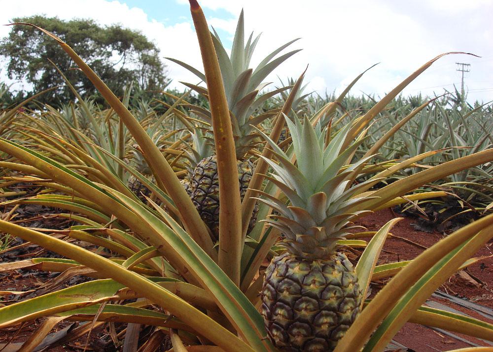 Аэрогель из ананасов поможет дольше хранить ананасы, и не только их