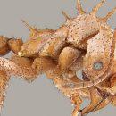 Каменные муравьи