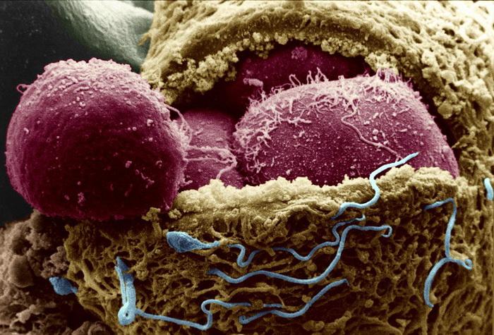 Стволовые клетки превратили в яйца