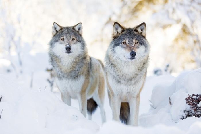 У волков нашли самосознание