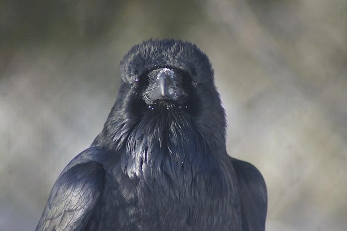 Молодые вороны ведут себя как взрослые обезьяны