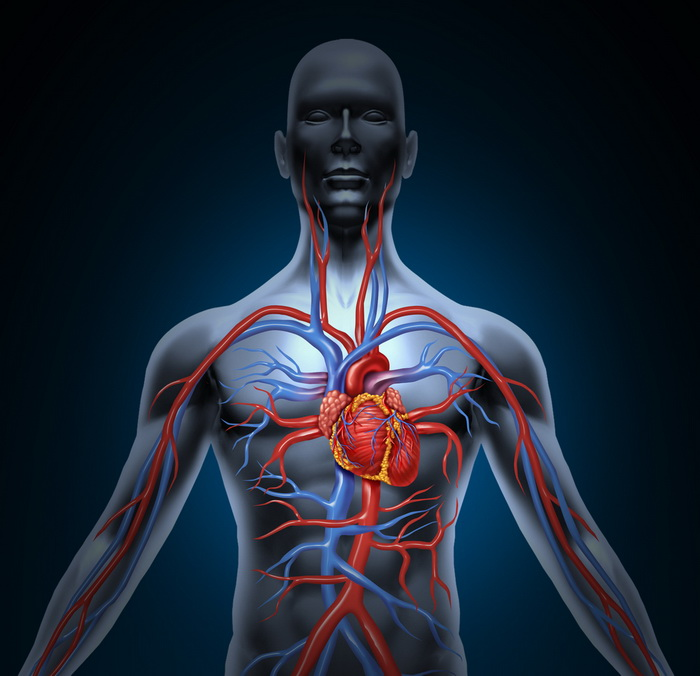 Как кровеносные сосуды вызывают аритмию