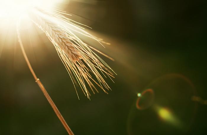 Бактерии помогают растениям выдержать жару