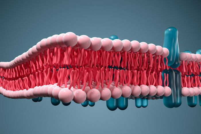 Наши ткани держатся на белковых «липучках»
