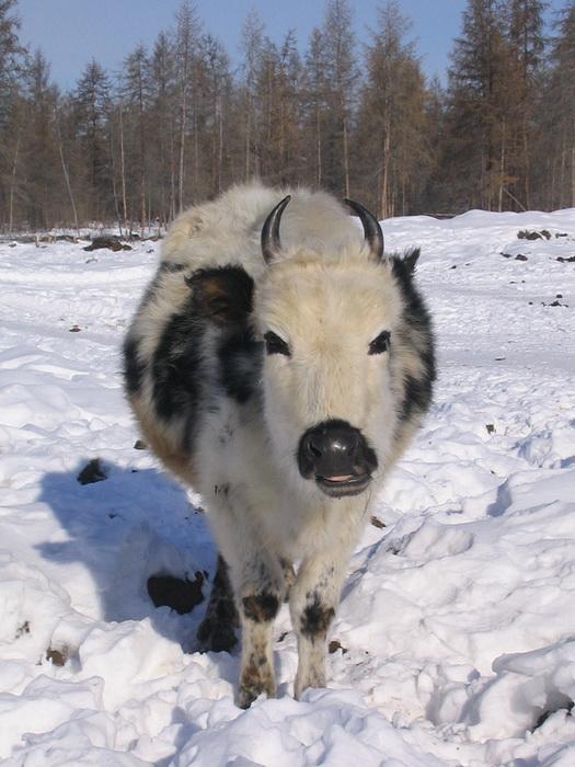 В генах якутских коров нашли африканский след
